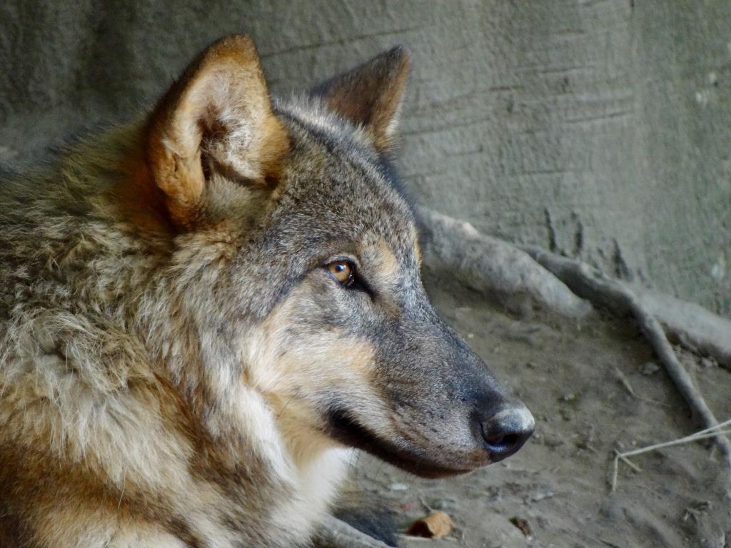 Dorfmann: Flexibleres Wolfsmanagement